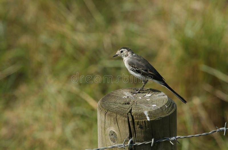 A beautiful Pied wagtail, Motacilla alba, perching on a fence post. A pretty Pied wagtail, Motacilla alba, perching on a fence post stock photo