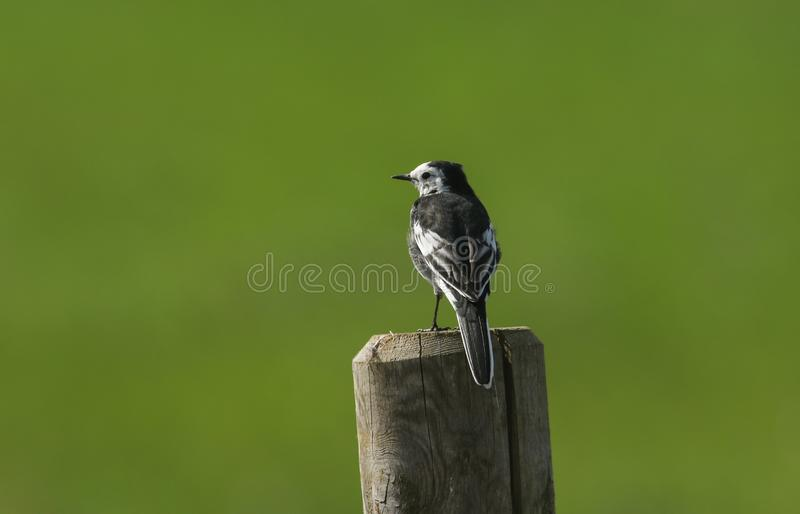 A beautiful Pied Wagtail Motacilla alba perching on a post against a green background. A pretty Pied Wagtail Motacilla alba perching on a post against a green royalty free stock photography
