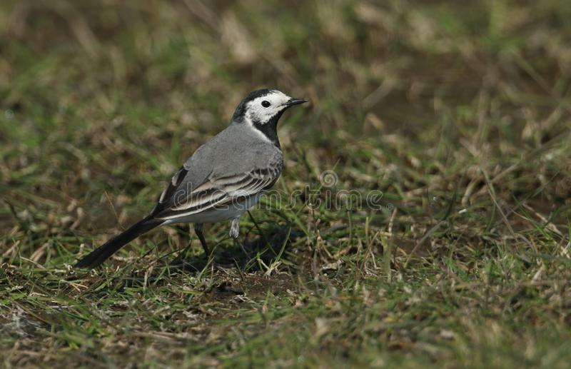A Pied or White wagtail, Motacilla alba, hunting for insects to eat in a meadow in the UK. A pretty Pied or White wagtail, Motacilla alba, hunting for insects royalty free stock photo