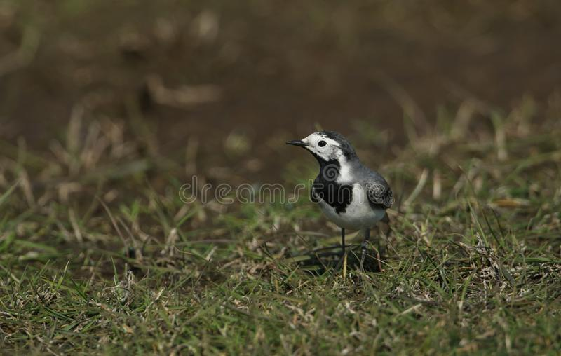 A Pied or White wagtail, Motacilla alba, hunting for insects to eat in a meadow in the UK. A pretty Pied or White wagtail, Motacilla alba, hunting for insects royalty free stock images