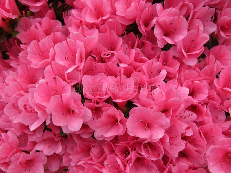 Pretty pink azaleas stock photo image of pink flowers 116048670 download pretty pink azaleas stock photo image of pink flowers 116048670 mightylinksfo Gallery