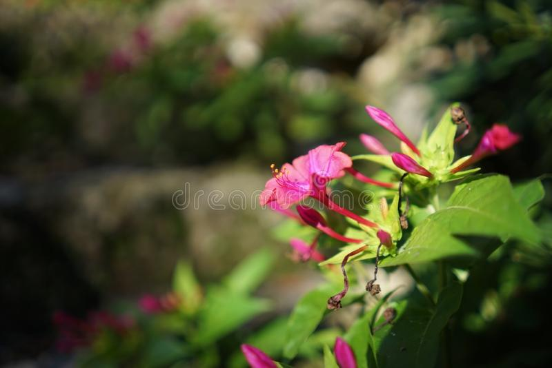Pretty in pink. A beautiful pink flower in the sun royalty free stock photo