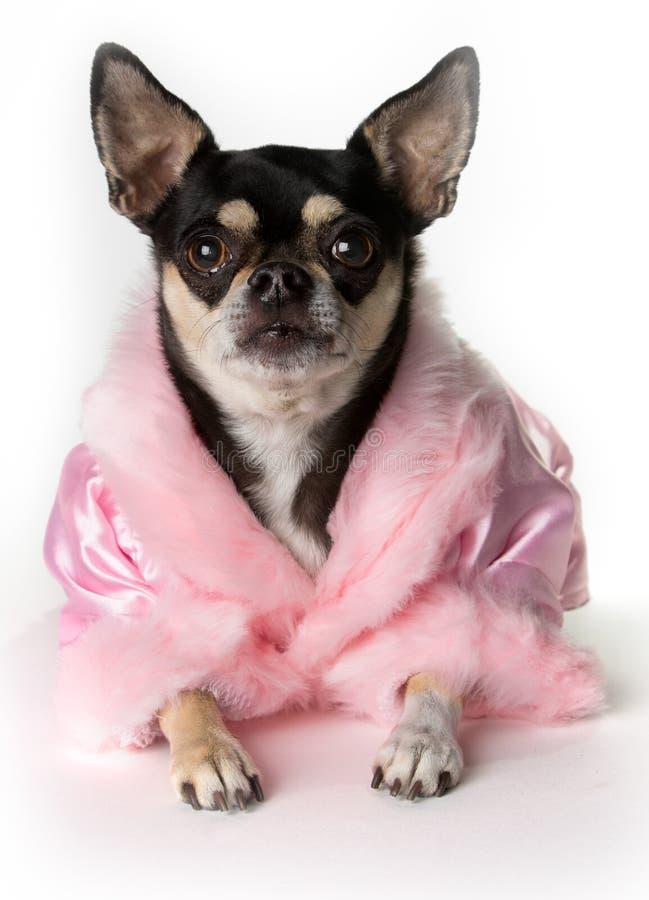 Pretty in Pink Chihuahua. Pretty chihuahua dog dressed in pink bathrobe