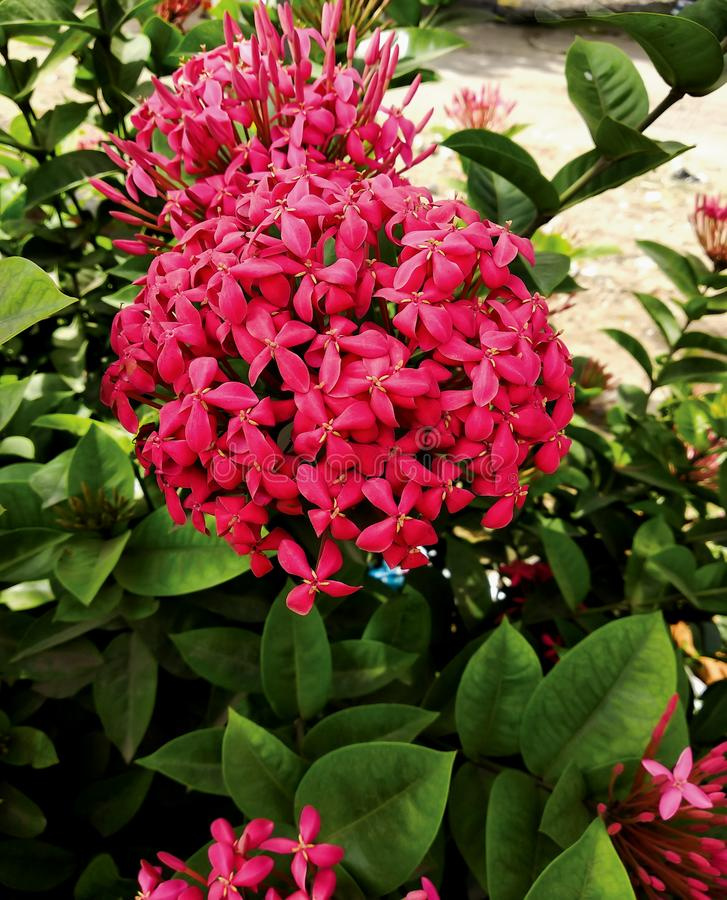 Pretty pink colored chinese ixora flowers plant and leaves.  stock photo