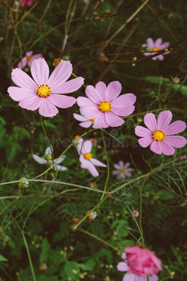 Pretty pink cosmos flowers blooming in the garden, green grass background royalty free stock photo
