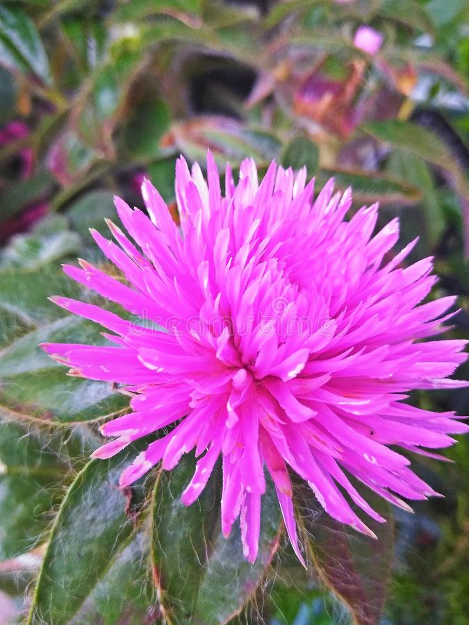 Pretty pink flower in bloom stock image