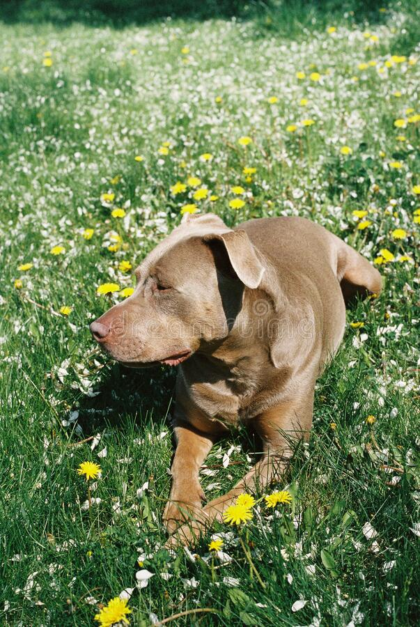 Pretty pit bull dog lying in flowers and grass outside on a sunny day. Side view of man`s best friends enjoying the outdoor stock images