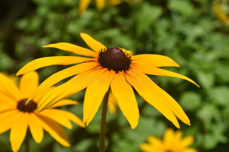 Pretty Poor Land Daisy Blooming in the Spring royalty free stock image
