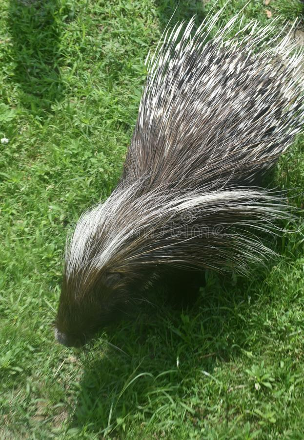 Sweet brown and white tipped quills on a porcupine. Pretty porcupine with prickly quills royalty free stock photography