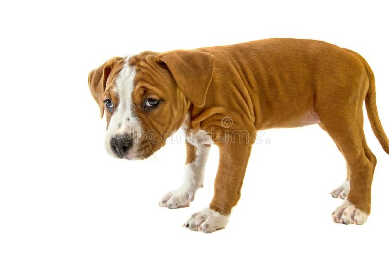 Pretty puppy, cute dog American Staffordshire Terrier, isolated on white background royalty free stock photo