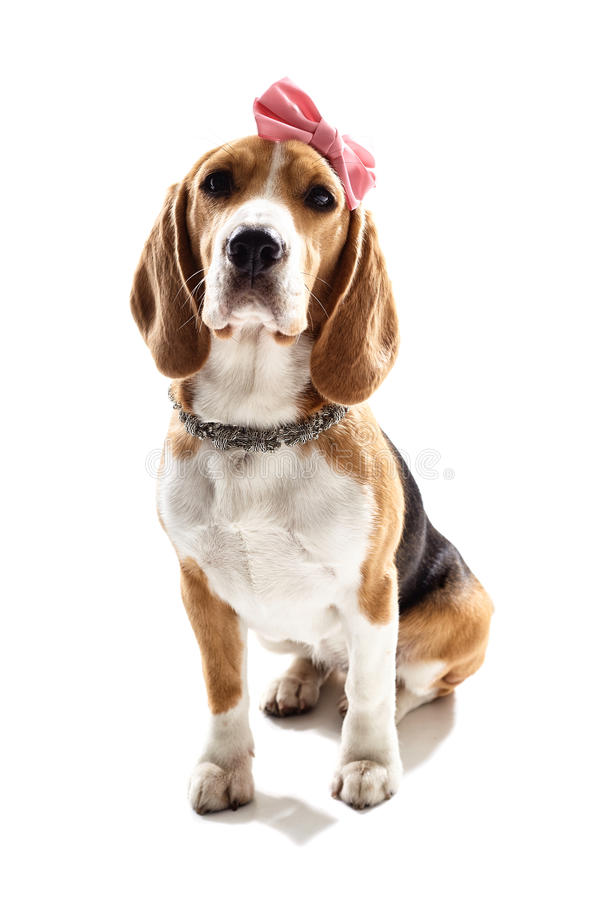 Pretty puppy girl is sitting with decoration. Glamour female beagle dog with pink bow on head and necklace stock photo