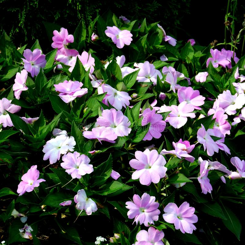 Pretty purple and pink wildflowers in the garden royalty free stock photos
