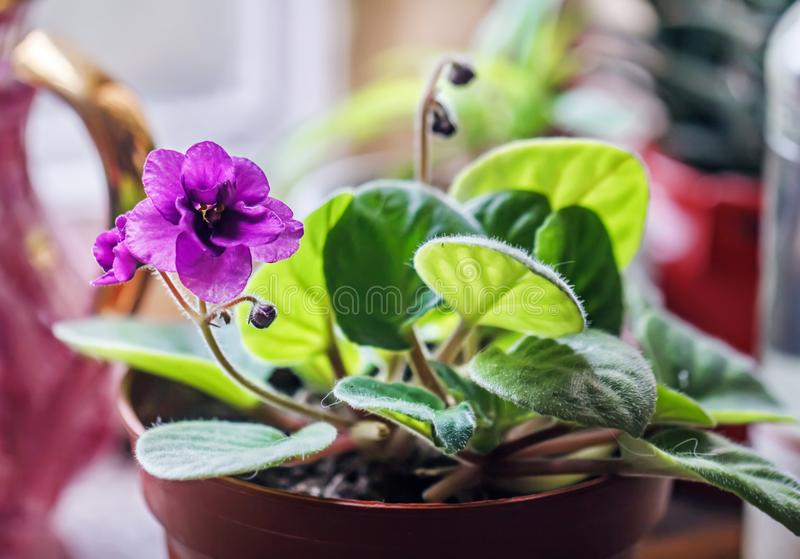 Purple violet in pretty pot royalty free stock images