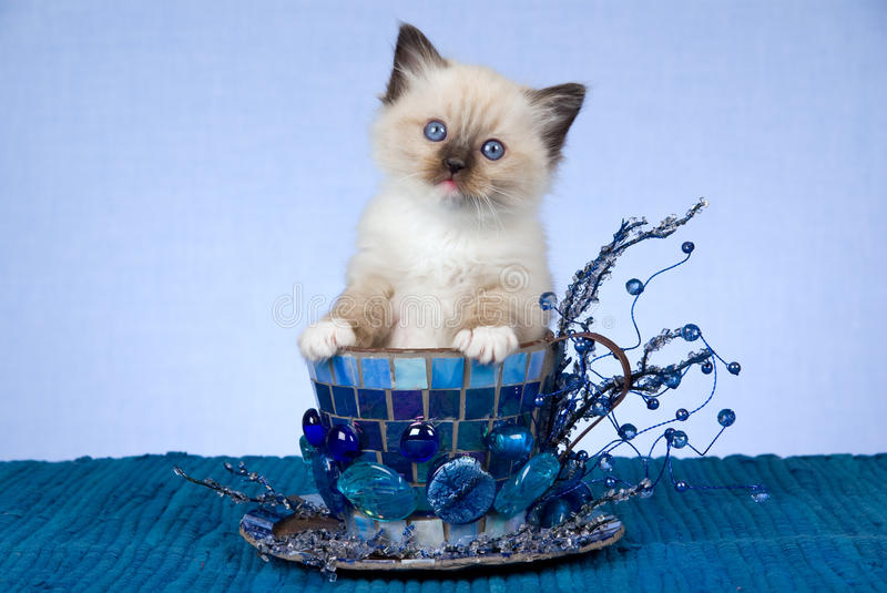 Download Pretty Ragdoll Kitten In Large Blue Cup Stock Photo - Image: 9501260