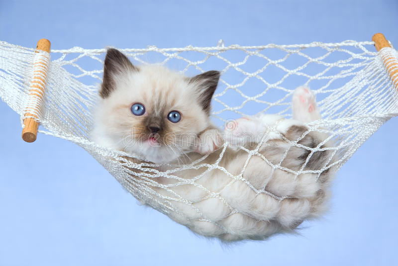 Pretty Ragdoll Kitten In Miniature Hammock Royalty Free