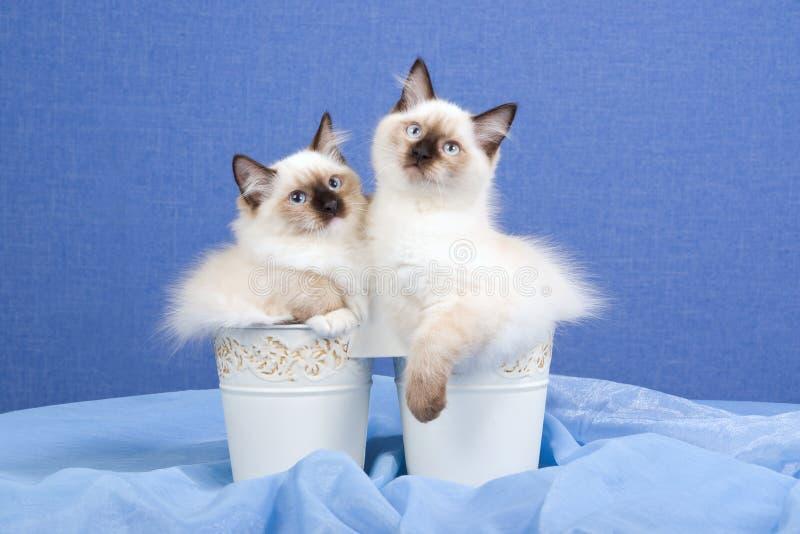 Download Pretty Ragdoll Kittens Inside Buckets Stock Image - Image of cats, ragdoll: 9668871
