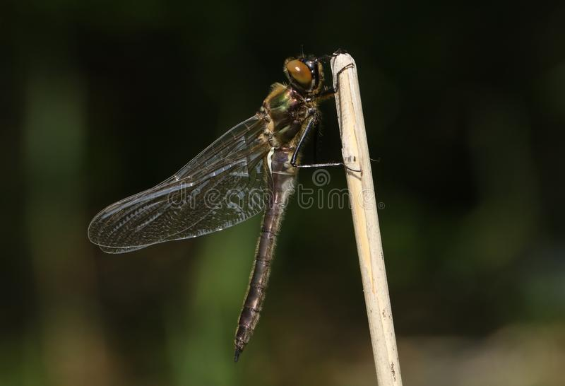 A stunning rare newly emerged Downy Emerald Dragonfly Cordulia aenea perching on a twig at the side of a pond. A pretty rare newly emerged Downy Emerald stock photography