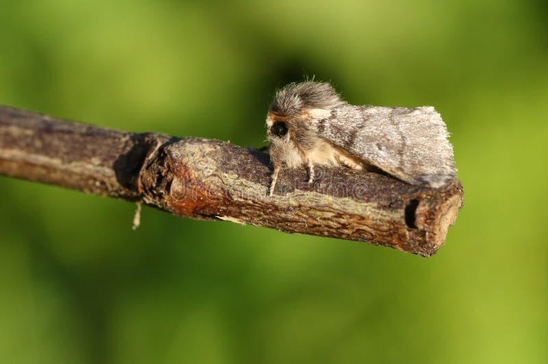 A stunning rare Oak Processionary Moth Thaumetopoea processionea perching on a twig. stock photo