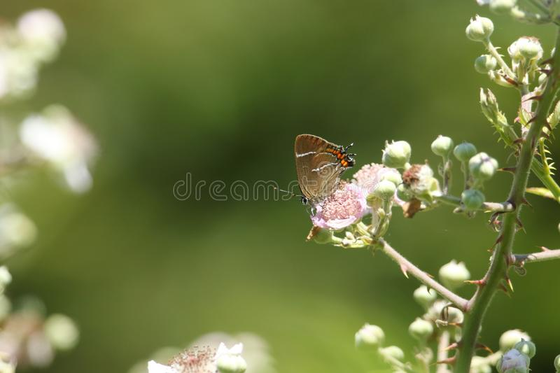 A pretty rare White-letter Hairstreak Butterfly satyrium w-album nectaring on a blackberry flower high in the bush. royalty free stock photo