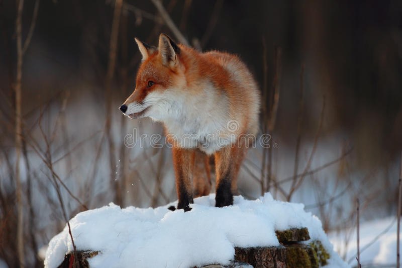 Pretty red fox. In winter forest royalty free stock image