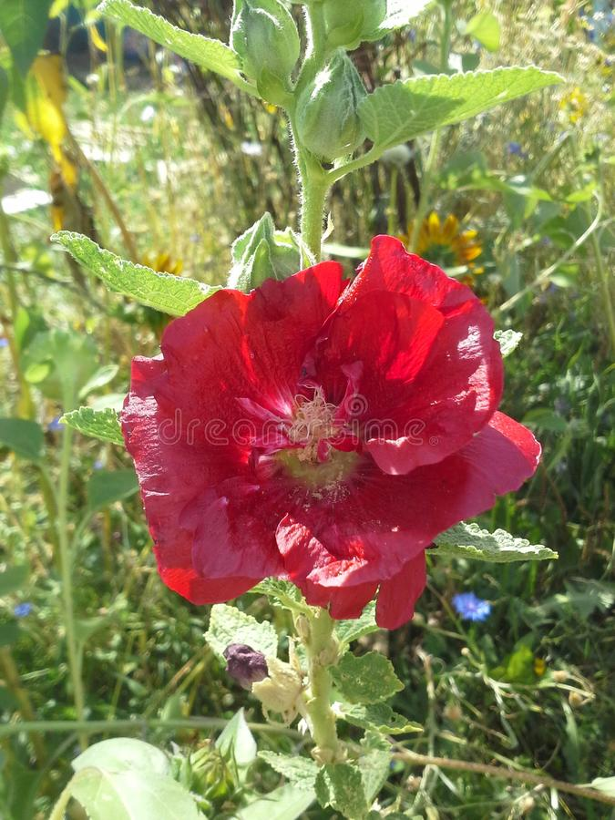 Pretty in Red. Prennial Flower in Summer stock photo