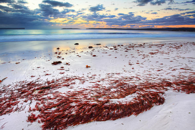 Download Pretty Red Seaweed Washed Ashore The Beach At Dawn Stock Image - Image of pristine, clouds: 40044951