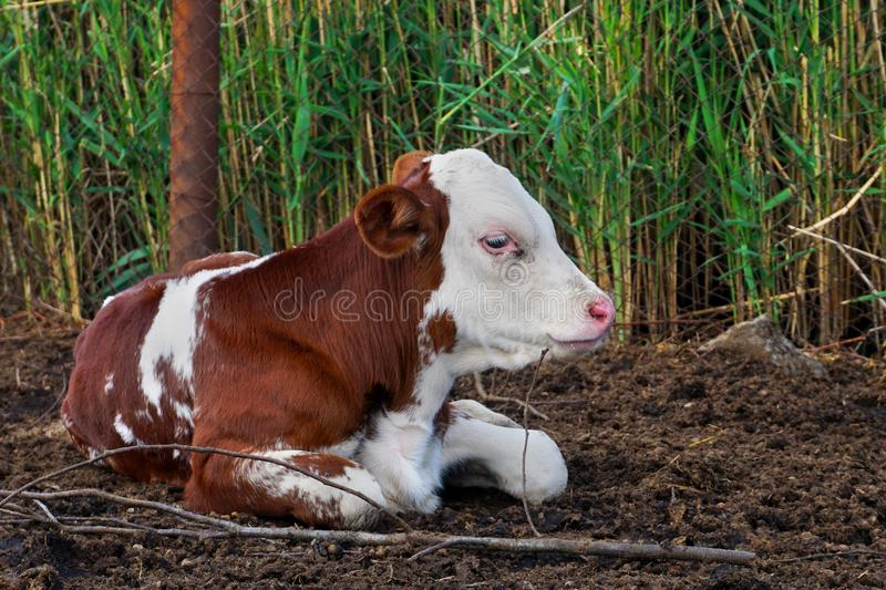 Pretty red and white little calf sitting alone. young cow. stock photos