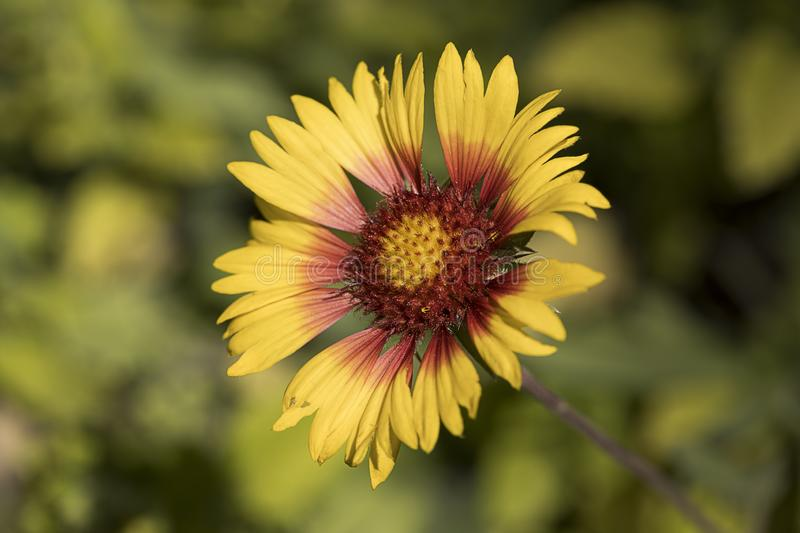 Pretty red and yellow coneflower. A close up photo of a delicate red and yellow coneflower in a garden stock images