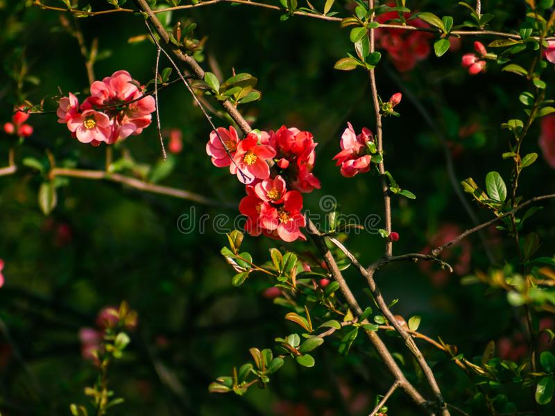 Pretty rich red flowers on small brush branches stock image
