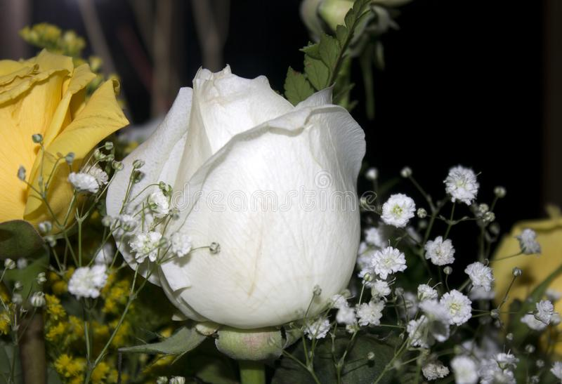 A pretty rose white with other rose yellows royalty free stock photography