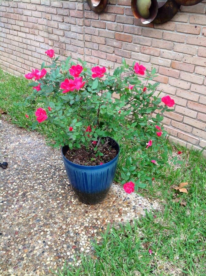 Pretty Roses stock image