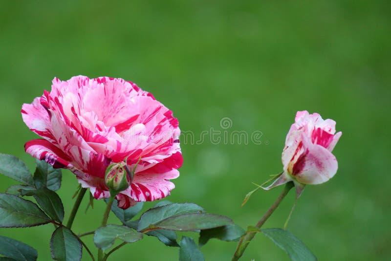 Pretty scene of peppermint striped roses in flower garden stock photo