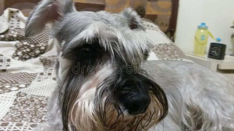 Pretty schnauzer dog 2 royalty free stock images