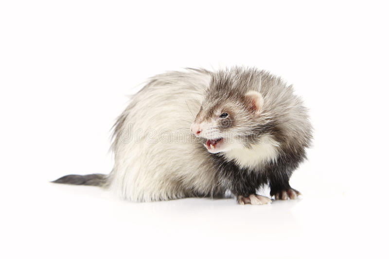Pretty silver angora ferret on white background posing for portrait in studio. Ferret on white background posing for portrait in studio stock image