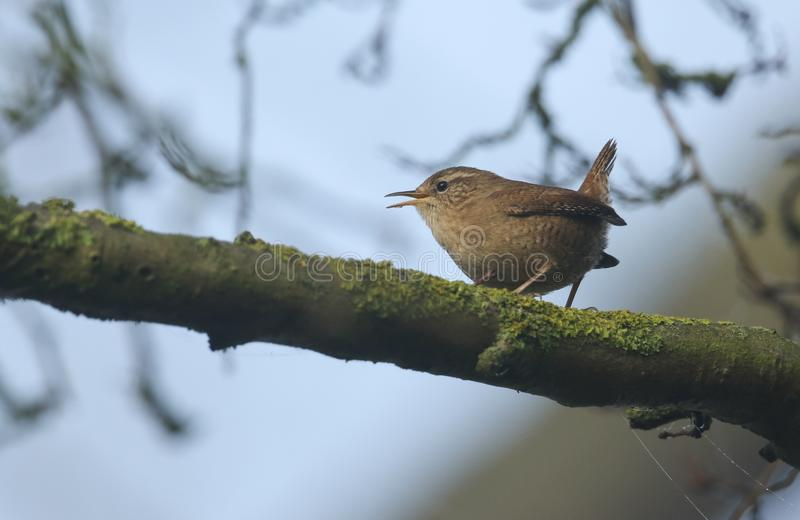 A singing Wren Troglodytes troglodytes perched on a branch in a tree. A pretty singing Wren Troglodytes troglodytes perched on a branch in a tree royalty free stock photography