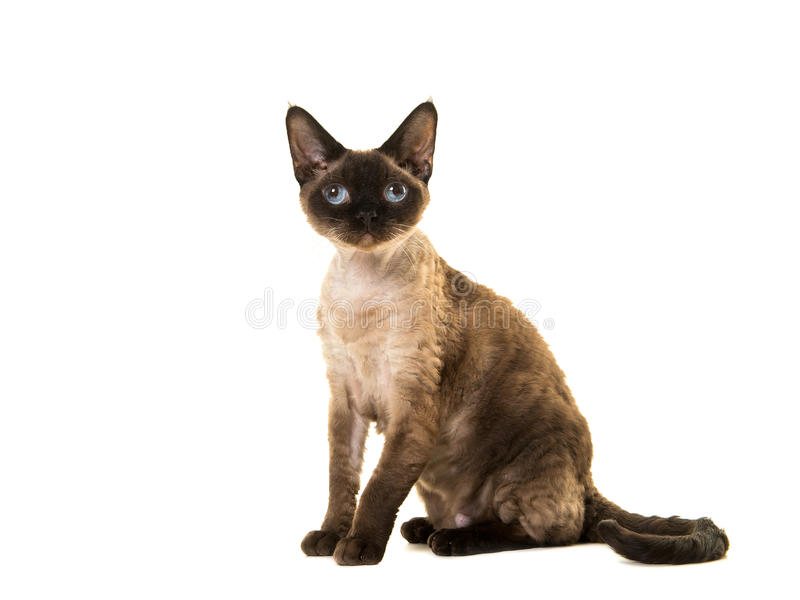 Pretty sitting seal point devon rex cat with blue eyes looking up seen from the side royalty free stock image