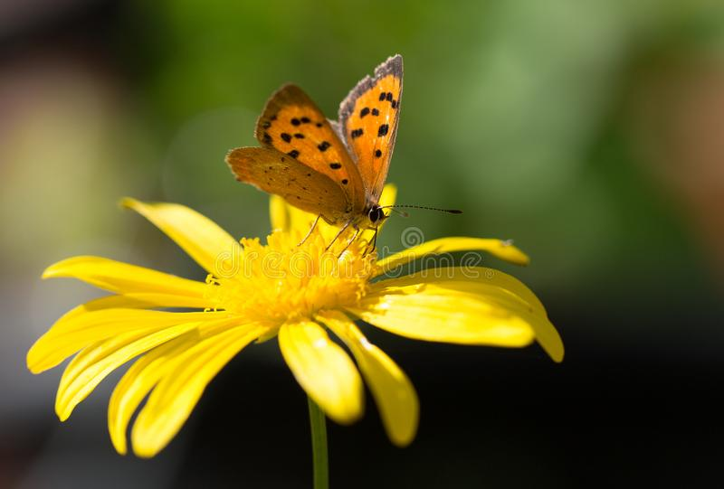 Pretty small copper butterfly resting on a vibrant yellow daisy flower head royalty free stock images