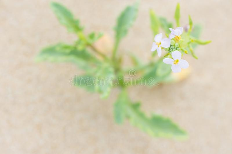 Pretty Small Delicate White Flower with Green Leaves Growing in the Sand on the Beach by the Ocean. Purity Tranquility Serenity. Contemplation Concept. Romantic royalty free stock photos