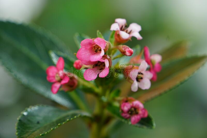 Pretty small pink cluster of flowers and leaves with shallow depth of field. Focus is on the flowers in the foreground, and the leaves are blurred creating a stock photos