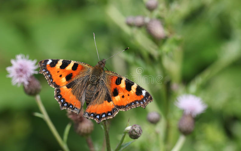 A pretty Small Tortoiseshell Butterfly Aglais urticae nectaring on a thistle flower. royalty free stock images