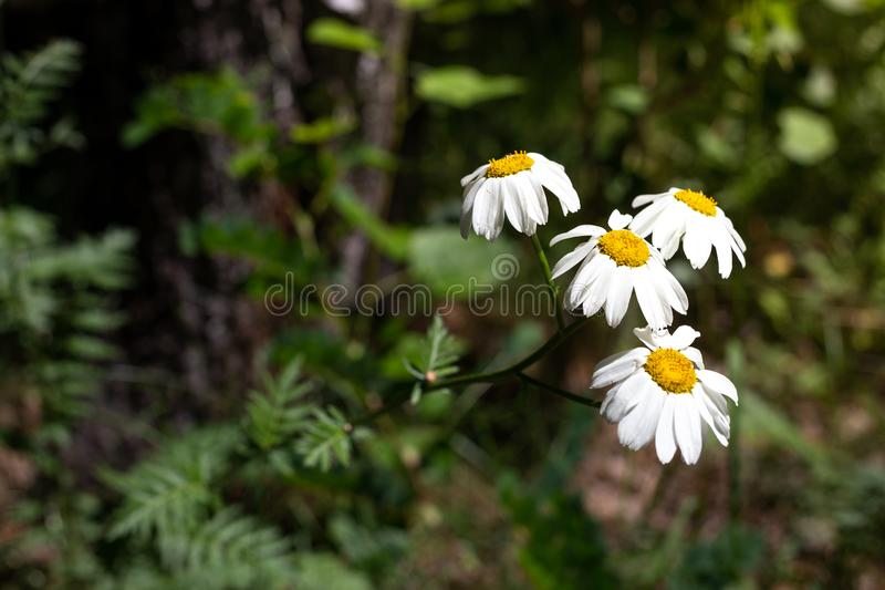 Pretty small white flowers camomile of Pyrethrum cinerariifolium. Organic insect repellent. royalty free stock photography