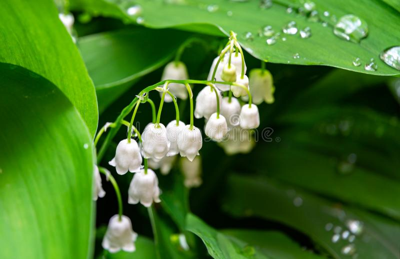 Pretty spring white bells of lily of the valley, Convallaria majalis. Highly poisonous woodland plant. Close-up of white flower be. Lls with green leaves. Known royalty free stock image