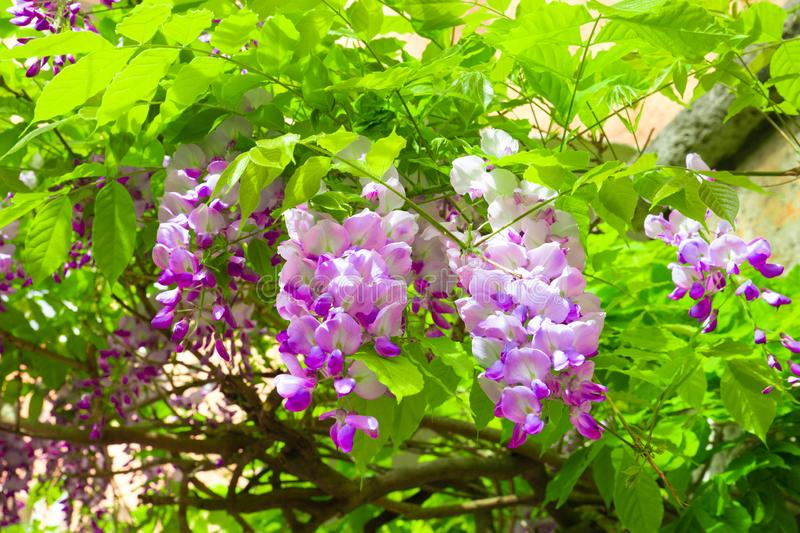 Pretty spring wisteria hanging outdoors stock photo