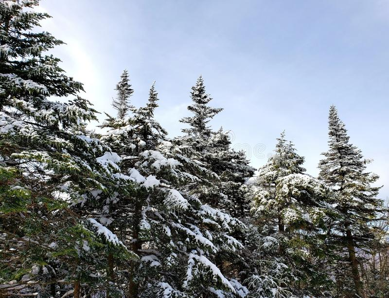Pretty Stand of Pine Trees stock image