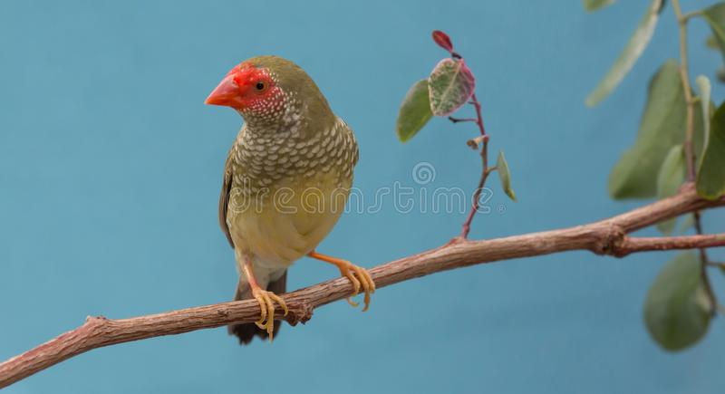 Male Star Finch Singing Stock Image Image Of Aviary