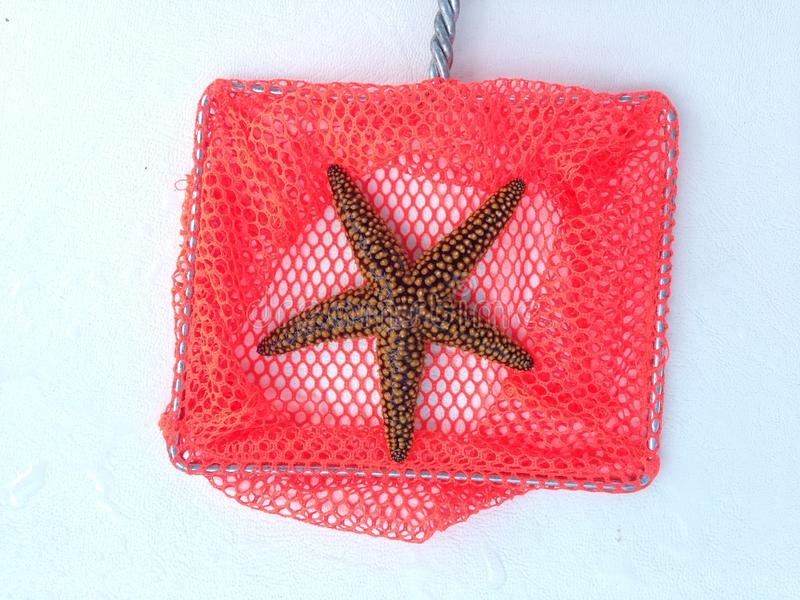Pretty Starfish royalty free stock image