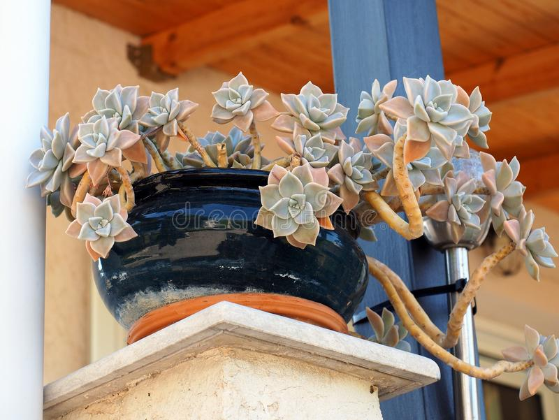 Pretty Succulent Plant in Blue Glazed Pot. A small succulent plant, with many subtle colours, in a dark blue shiny glazed pot or bowl royalty free stock images