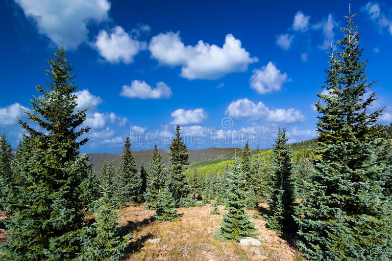 Pretty Summer in the New Mexico Pine Forest. Stunning summer mountain vista featuring vivid green pine trees and a lovely blue sky with clouds stock photos