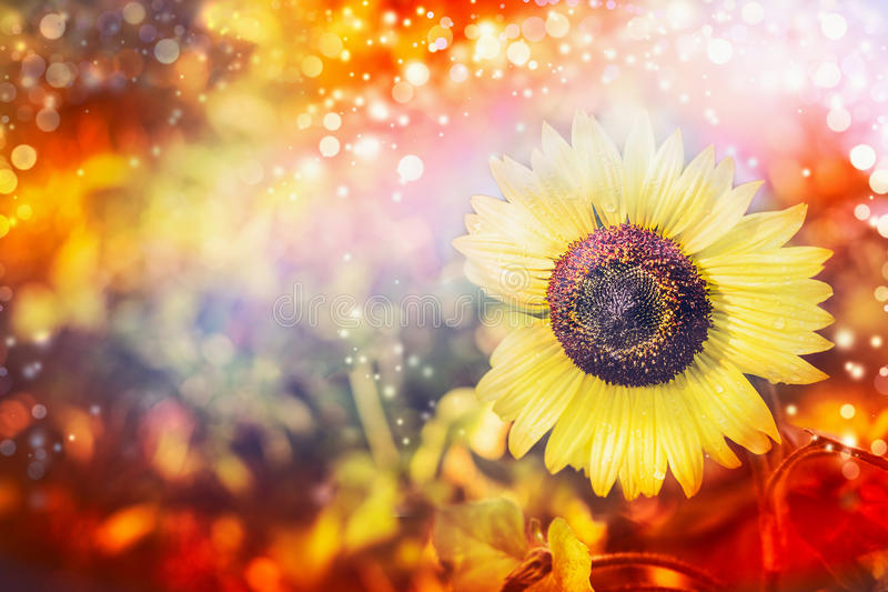 Pretty sunflower at autumn nature background in garden or park. Fall colored, horizontal royalty free stock photography