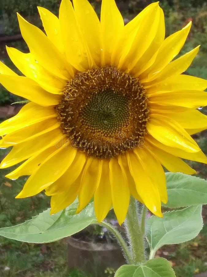 Pretty sunflower from garden royalty free stock images
